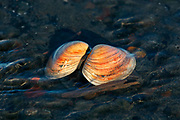 Clam shell rests in the quiet morning light.  Alaska