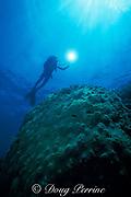 diver and mountainous star coral, Montastrea annularis, Molasses Reef, Florida Keys National Marine Sanctuary, Key Largo, Florida ( Western Atlantic Ocean )  MR 79