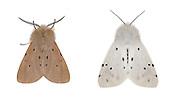 72.022 (2063)<br /> Muslin Moth - Diaphora mendica<br /> left=male<br /> right=female