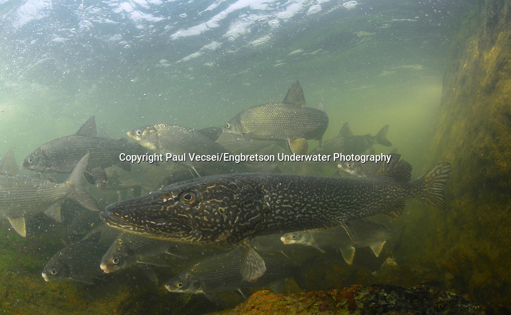 Northern Pike (with Lake Whitefish)<br /> <br /> Paul Vecsei/Engbretson Underwater Photography