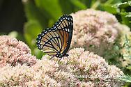 03421-00709 Viceroy (Limenitis archippus) on Autumn Joy Sedum (Sedum spectabile) Marion Co. IL