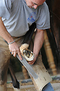 Farrier preparing a horse's hoof for new shoe Filling and cleaning the hoof