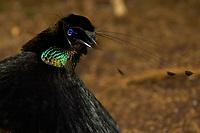 "Western Parotia Bird of Paradise<br />(Parotia sefilata) male performing ""ballerina dance"" display for a female."