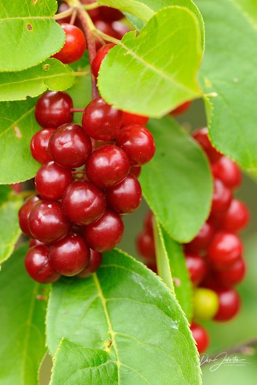Chokecherry (Prunus virginiana) Berries, Greater Sudbury, Ontario, Canada
