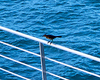 Great-tailed Grackle. Image taken with a Leica D-Lux 5 camera