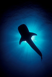 The unmistakable silhouette of a Whale Shark, Rhincodon typus. Reaching over 40 feet in length, whale sharks are the largest of all fish, yet are gentle filter feeders, straining plankton and small fish from the water with their gill rakers. Richelieu Rock, Thailand, Andaman Sea, Indian Ocean