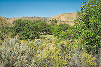 Dense foliage grows in the riparian parts of White Pass near Naches, Washington along the Tieton River. Here you can find several types of sage, bitterbrush, ponderosa pine, Oregon white oak, rare cactus and a profusion of wildflowers in the springtime.