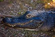 Alligator in The Everglades, Florida, USA