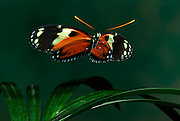 Heliconius melpomene, Postman Butterfly, in flight, flying, high speed photographic technique, South America.Central America....