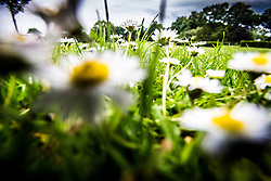 Weedy Daisies and grass, Kirkcaldy 15th June, 2015.