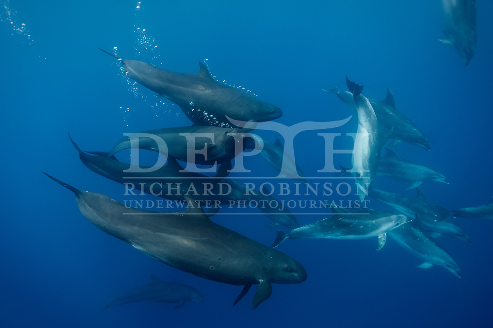 Pseudo Orca (Pseudorca crassidens) also known as False-killer Whales traveling with a pod of pelagic Tursiops truncatus (Bottlenose dolphins) in the South Pacific Ocean.<br /> 24 March 2018<br /> Photograph Richard Robinson © 2018