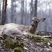 Whitetail Deer, (Odocoileus virginianus) Doe grooms self between labor contractions.