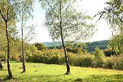 Silver Birch Trees, Betula pendula, Ranscombe Farm Nature Reserve, Kent UK