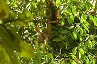 "Bornean Orangutan - ""wurmbii"" subspecies<br />(Pongo pygmaeus wurmbii)<br /><br />Cabang Panti Research Station<br />Gunung Palung National Park<br />West Kalimantan, Indonesia<br />Borneo Island<br /><br />Female = Beth<br />Infant = Benny<br />Second Infant = Duwyk (daughter of Delly)"