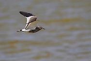 Sociable Plover - Vanellus gregarius