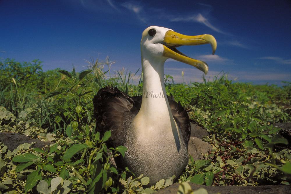 Waved Albatross<br /> Phoebastria irrorata<br /> Hood/Espanola Island, GALAPAGOS, ECUADOR.  South America<br /> RANGE; Hood, Galapagos & Isla de la Plata off Ecuador