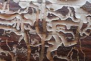 Bark beetles carved tracks in a downed log in Glacier National Park, Montana, USA.