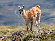 Young guanacos are called chulengos. The guanaco (Lama guanicoe) is a camelid native to South America, closely related to the llama. Its name comes from the Quechua word huanaco (modern spelling wanaku). Location: Lagunas Altas Trail, Chacabuco Valley, near Cochrane, in Chile, South America. Patagonia National Park consists of the Tompkins Conservation donation in addition to the former national reserves of Jeinimeni and Tamango, plus fiscal land. Parque Patagonia was created by Conservacion Patagonica, a nonprofit incorporated in California and founded in 2000 by Kris Tompkins. On January 29, 2018, Chilean President Michelle Bachelet and Kris Tompkins signed a decree creating 5 national parks, including Patagonia National Park.