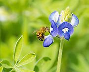 Macro photo of a honey bee pollinator on a bluebonnet keel petal, Houston, Texas