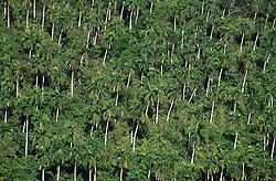 Palm trees on a hillside near to Soroa; Cuba,