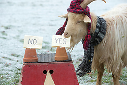 """Boots the fortune telling goat gives their predictions for 2017, at Lanton Hill Farm, Jedburgh. Think this was """"Will Scotland qualify for the world cup."""