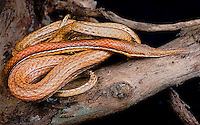 Madagascar Leaf-nosed Snake  (Langaha nasuta)