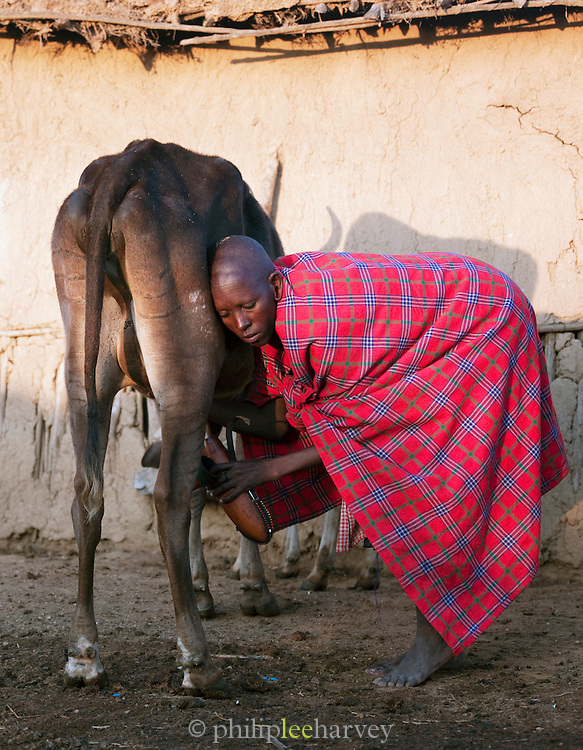 Maasai tribeswoman milking a cow into a traditional gourd, Oyaratta village near Maasai Mara National Reserve, Kenya