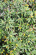 Loquat tree (Eriobotrya japonica) with fruit, Photographed in Israel in spring April
