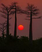 Africa, Madagascar, Morondava, Grandidier's Baobab (Adansonia grandidieri) Avenue at sunset. This tree is endemic to the island