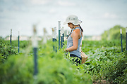 Students stake up tomato plants at the University of Wiconsin Madison's research farm as part of their studies.
