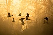 Canada Geese in fog Bitterroot Valley, Montana