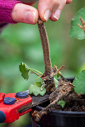 Removing rotted pelargonium stem