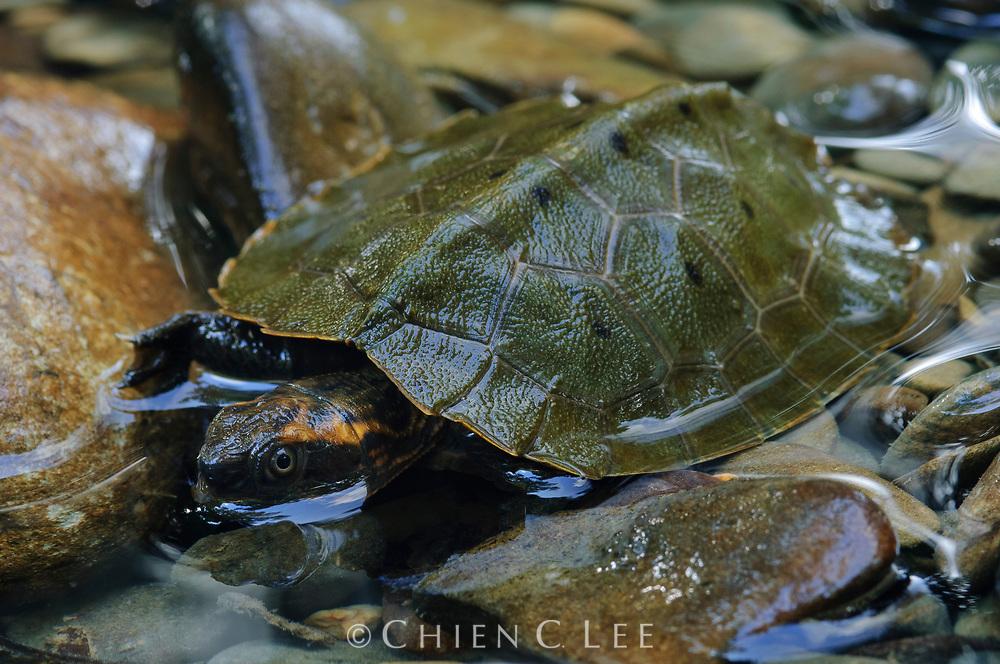 Malayan Flat-shelled Turtle (Notochelys platynota). Sarawak, Malaysia (Borneo).