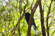 Pied Curraway bird (Magpie family) in the Blue Mountains National Park, Australia