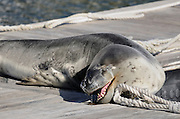 Leopard seal (Hydrurga leptonyx) photographed at Port Stephens, New South Wales, Australia, Pacific Ocean.