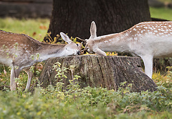 © Licensed to London News Pictures. 17/10/2017. London, UK. Two young deer play over a tree stump at first light in Bushy Park.  Storm Ophelia is expected to hit parts of Scotland later today. Photo credit: Peter Macdiarmid/LNP