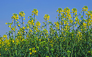 ADD2TC Oil seed rape yellow flowers against blue sky