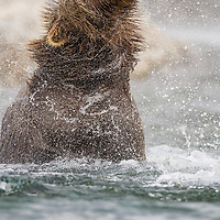 An adult Brown bear shakes off after a fishing attempt in Katmai National Park and Preserve, Alaska