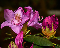 Rhododendron blooms. Backyard spring nature in New Jersey. Image taken with a Nikon Df camera and 105 mm f/2.8 VR macro lens (ISO 100, 105 mm, f/8, 1/125 sec).