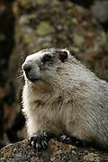 Hoary Marmot, Marmota calligata, closeup, on rock, summer, tundra, shrill whistle when alarmed, inhabits rocky alpine slopes; hibernates in winter, Denali National Park, Alaska, ©Craig Brandt, all rights reserved; brandt@mtaonline.net