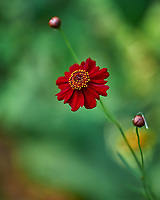 Red Plains Coreopsis. Image taken with a Leica SL2 camera and Sigma 70 mm f/2.8 macro lens