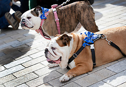 "© Licensed to London News Pictures. 07/10/2018. London, UK. Bulldogs Chunky (R) and Bubbles pose with EU flag bow-ties  as pro-remain dog owners march to Parliament to demand a ""People's Vote"" on the final Brexit agreement.  Photo credit: Peter Macdiarmid/LNP"