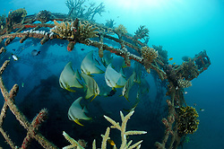 """Global Coral Reef Alliance, """"Das Projekt"""",  Platax teira, Langflosse Fledermausfische an kuenstlichem Riff, longfin batfishes, school of Tall-fin batfish on artificial reef, Global Coral Reef Alliance, Pemuteran, Bali, Indonesien, Indopazifik, Bali, Indonesia Asien, Indo-Pacific Ocean, Asia"""
