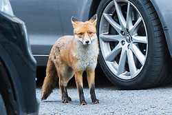 London, January 16 2018. An urban fox wanders through Downing Street as the UK Cabinet meets inside No 10. © Paul Davey