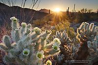 Teddy Bear Cholla cactus (Cylindropuntia bigelovii) glowing in the rays of the setting sun, Organ Pipe Cactus National Monument Arizona