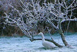 Stone duck in the orchard at Ketley's in winter.