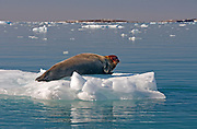 Bearded Seal, Erignathus barbatus, in Kings Fjord, Spitsbergen.