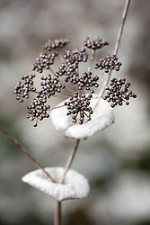 Smyrnium seedheads