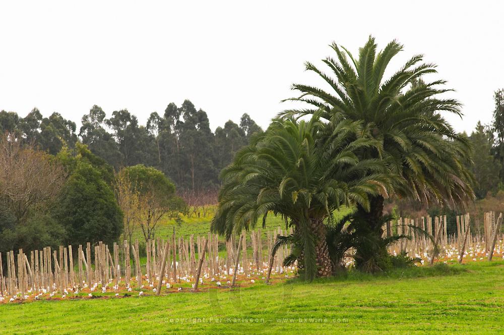 The vineyard and palm trees Bodega Bouza Winery, Canelones, Montevideo, Uruguay, South America