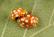 Close-up of a pair of Orange ladybirds (Halyzia 16-guttata). A sixteen spot ladybird showing the distinctive splayed-out transparent edge to the wing-cases mating on a leaf in a Norfolk woodland habitat in summer